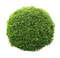 Cute Ball Shaped Bush Isolated On White Background Stock Photography - 64620372
