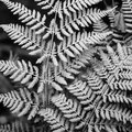 Close Up Of Two Fern Leaves Stock Photography - 64624012