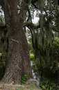 Trunk Of Live Oak Tree Near A Pond Stock Images - 64643514