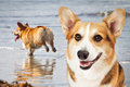 Two Corgi Dogs Playing At Beach Stock Images - 64646064