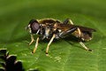 Xylota Segnis Hoverfly Stock Image - 64667481