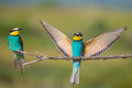 Two Bee-eaters Sitting On A Branch Stock Photo - 64683940