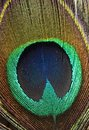 Peacock Feather Stock Photography - 6471672