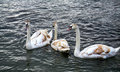 White Brown Swans On Lake Ohrid, Macedonia Royalty Free Stock Images - 64708849