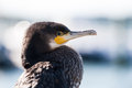 Great Cormorant Close-up Stock Photos - 64730013