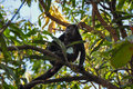 Howler Monkey In Samara, Costa Rica Royalty Free Stock Images - 64735809