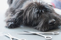 Schnauzer Dog Puppy Lying On The Grooming Table Royalty Free Stock Image - 64753536