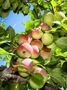 Apples On A Tree. Royalty Free Stock Image - 64778456