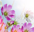 Cosmos Flowers Stock Photography - 64781752