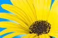 Yellow Daisy Stock Images - 6484874