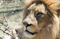 Lion In The Sun Stock Image - 64844911