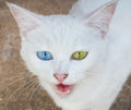 White Cat Eye Color Royalty Free Stock Image - 64897456