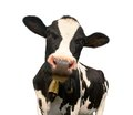 Head Of Black And White Cow Royalty Free Stock Photo - 64914295
