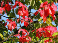 Red Maple (Acer Rubrum) Stock Photography - 64937472