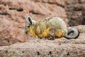 Cute Viscaca In The High Andean Plateau, Bolivia Royalty Free Stock Photos - 64963378