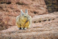 Cute Viscaca In The High Andean Plateau, Bolivia Royalty Free Stock Photography - 64963527