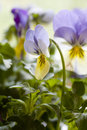 Yellow And Blue Pansies Stock Image - 652631
