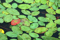 Lily Pad Background Royalty Free Stock Photo - 652805