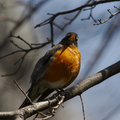 Robin Stock Images - 658414