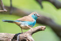 Blue Waxbill On Branch Stock Images - 65003434