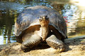 A Large Tortoise Posing At The Alligator Farm In St.Augustine, Florida. Royalty Free Stock Photo - 65031275