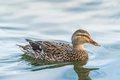 Scene Of Ducks Rest In The Lake In The Park. Royalty Free Stock Images - 65067099