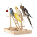 Playing Parakeet And Cockatiel Stock Image - 65079951