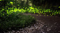 Fireflies And Tung Flower Royalty Free Stock Photo - 65097245