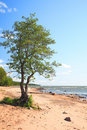Lonely Tree Royalty Free Stock Image - 6513366