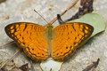 Orange And Brown Butterfly Royalty Free Stock Image - 6513406
