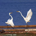 Egret Royalty Free Stock Images - 6514439