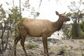 Female Elk Standing And Facing Forward, Yellowstone National Par Royalty Free Stock Image - 65105736