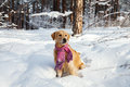 Golden Retriever In A Pink Scarf Running Through The Snow Stock Photography - 65117372