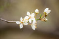 Closeup Of A Twig With Blooming White Flowers Royalty Free Stock Photography - 65140967