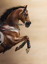 Close-up Of Chestnut Jumping Horse In A Hackamore Stock Photos - 65141113
