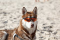 Husky Laying In Sun Glasses On Sand Royalty Free Stock Photo - 65191585