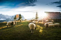 Flock Of Sheep Grazing Royalty Free Stock Photos - 65195788