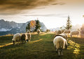 Flock Of Sheep Grazing Royalty Free Stock Photos - 65196158