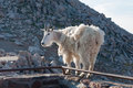 Mountain Goat Stand Proudly, High In The Rocky Mountains Stock Photos - 65199643