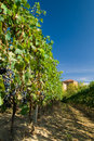 Vineyard Rows Stock Images - 6520984
