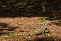 Australian Water Dragon Basking On Dry Leaves Stock Images - 65205984