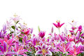 Beautiful Pink Lily Flower Isolated On White Royalty Free Stock Images - 65217259