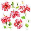 Set Of Red Watercolor Hibiscus Flower Royalty Free Stock Image - 65250976