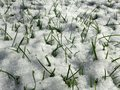 Grass In Snow On A Lawn In The Sun. Stock Photo - 65267240