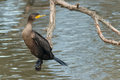 Double-crested Cormorant Stock Image - 65268861
