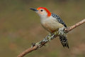 Red-bellied Woodpecker Royalty Free Stock Photography - 65269137