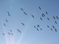 Flock Of Birds, Greater White-fronted Goose In Flight Stock Photos - 65342673