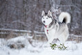Siberian Husky Runs On Fresh Snow. Royalty Free Stock Photos - 65343628