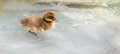 Baby Duck Swimming Stock Photography - 65396992
