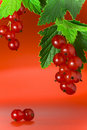 Red Currant Royalty Free Stock Photography - 6548337